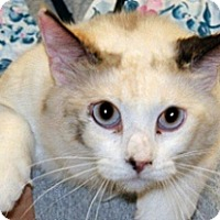 Domestic Shorthair Cat for adoption in Wildomar, California - Jessie