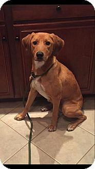 Labrador Retriever/Hound (Unknown Type) Mix Dog for adoption in New Oxford, Pennsylvania - Dory
