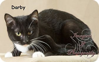 Domestic Shorthair Cat for adoption in Oklahoma City, Oklahoma - Darby