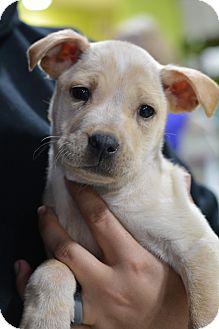 Labrador Retriever/American Bulldog Mix Puppy for adoption in Fort Collins, Colorado - Sporty Spice (FORT COLLINS)