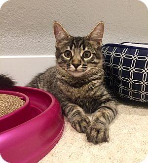 Maine Coon Kitten for adoption in San Jose, California - Olive Ryan $25 TO ADOPT