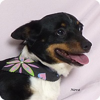 Adopt A Pet :: Nova - Kerrville, TX