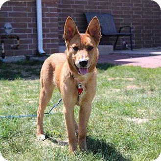 Pics For > German Shepherd Red Heeler Mix Puppy