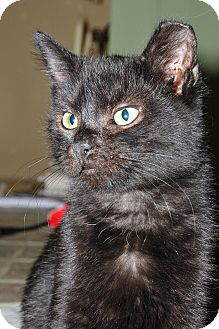 Domestic Shorthair Kitten for adoption in St. Louis, Missouri - Baxter