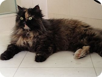 Persian Cat for adoption in Beverly Hills, California - Alissa