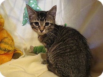 Domestic Mediumhair Kitten for adoption in Geneseo, Illinois - Bubbles