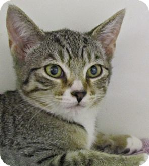 Domestic Shorthair Kitten for adoption in Seminole, Florida - Rainy