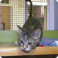 Adopt A Pet :: Sox - Dover, OH