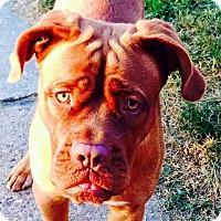 Adopt A Pet :: Maggie Mae - Pittsburgh, PA