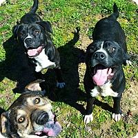 Adopt A Pet :: Cain - Brattleboro, VT