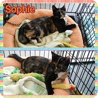 Domestic Longhair Kitten for adoption in Kennedale, Texas - Sophie