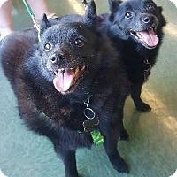 Adopt A Pet :: Leila & Lila - Hillside, IL