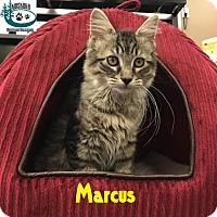 Adopt A Pet :: Marcus - Cool Markings! - Huntsville, ON