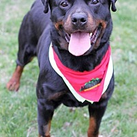 Rottweiler Dog for adoption in Rexford, New York - Racquel