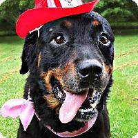 Rottweiler Mix Dog for adoption in Roanoke, Virginia - Storm