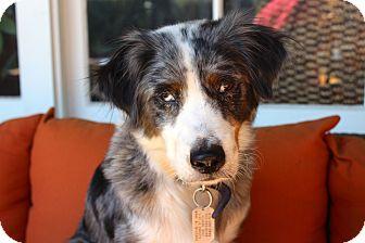 Australian Shepherd Mix Dog for adoption in Los Angeles, California - Penny Royale