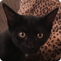 Domestic Shorthair Kitten for adoption in Verdun, Quebec - Lisa