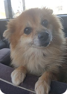 Pomeranian Mix Dog for adoption in Los Angeles, California - POSH
