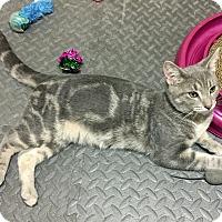Adopt A Pet :: Tommy - Troy, MI