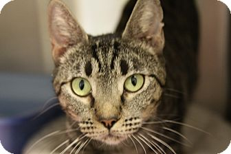 Domestic Shorthair Cat for adoption in Sarasota, Florida - Sparkle