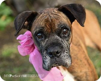 Boxer Mix Dog for adoption in Miami, Florida - s/c mildred