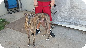 Greyhound Dog for adoption in Knoxville, Tennessee - Kickin It