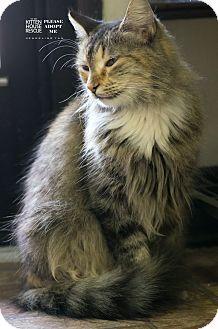 Domestic Longhair Cat for adoption in Houston, Texas - SHEBA