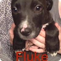 Adopt A Pet :: Fluke - Normal, IL