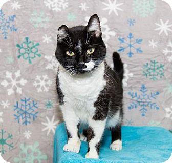Domestic Shorthair Cat for adoption in Lowell, Massachusetts - Professor Sinistra