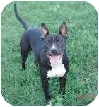 Pit Bull Terrier Mix Dog for adoption in Bellflower, California - Lady
