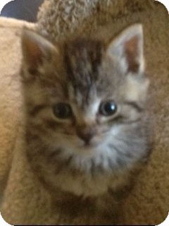 Domestic Shorthair Kitten for adoption in Island Park, New York - Sara