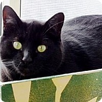 Domestic Shorthair Cat for adoption in Belleville, Michigan - Frank