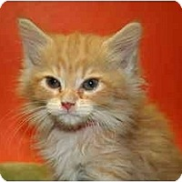 Adopt A Pet :: LOIS - SILVER SPRING, MD