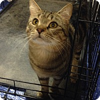 Domestic Shorthair Cat for adoption in New York, New York - Doobie