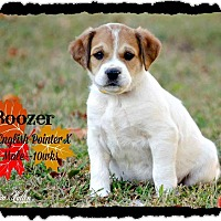 Adopt A Pet :: Boozer in CT - East Hartford, CT