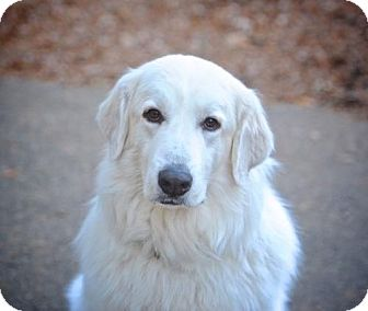 Great Pyrenees Dog for adoption in Rockaway, New Jersey - Bubba Pyr