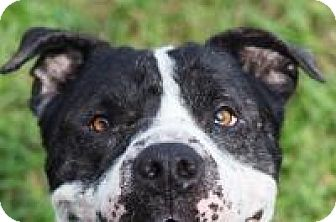 American Bulldog/American Pit Bull Terrier Mix Dog for adoption in New Smyrna Beach, Florida - Kiki
