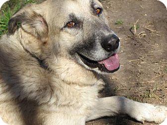 German Shepherd Dog/Anatolian Shepherd Mix Dog for adoption in Winter Park, Colorado - Thunder
