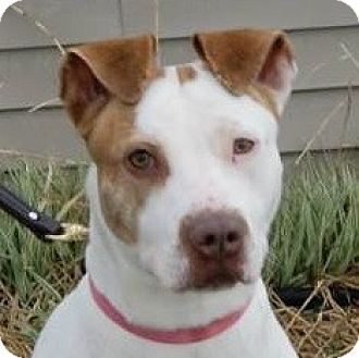 English Pointer Mix Dog for adoption in Monroe, Michigan - Willa