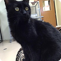 Domestic Shorthair Cat for adoption in Maryville, Missouri - Felecity