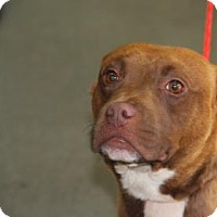 Pit Bull Terrier Mix Dog for adoption in Greensboro, North Carolina - Chantal