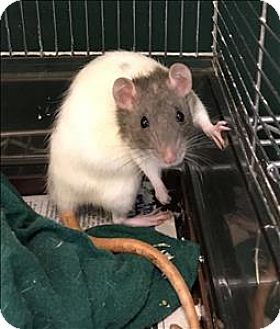 Rat for adoption in Madison, New Jersey - Frenchie