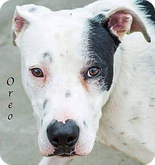 Dalmatian/Pointer Mix Dog for adoption in Dallas, Texas - Oreo