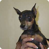 Miniature Pinscher Mix Dog for adoption in Wildomar, California - Ruby