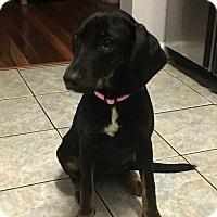Adopt A Pet :: Ginger Rogers - Jacksonville, FL