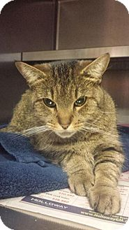 Domestic Shorthair Cat for adoption in Manchester, New Hampshire - River