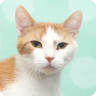 Domestic Shorthair Cat for adoption in Chippewa Falls, Wisconsin - Vara