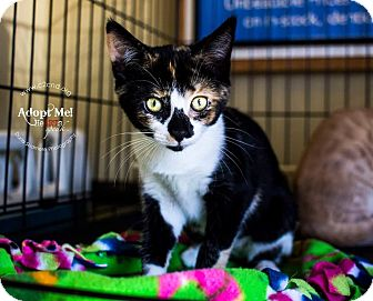 Calico Kitten for adoption in Mooresville, North Carolina - A..  Crayola