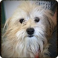 Adopt A Pet :: Farrah - Los Alamitos, CA