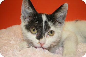 Domestic Shorthair Kitten for adoption in SILVER SPRING, Maryland - BELLA